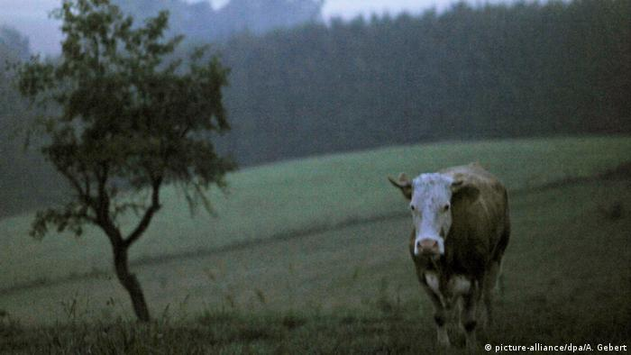 Yvonne the runaway cow (picture-alliance/dpa/A. Gebert)