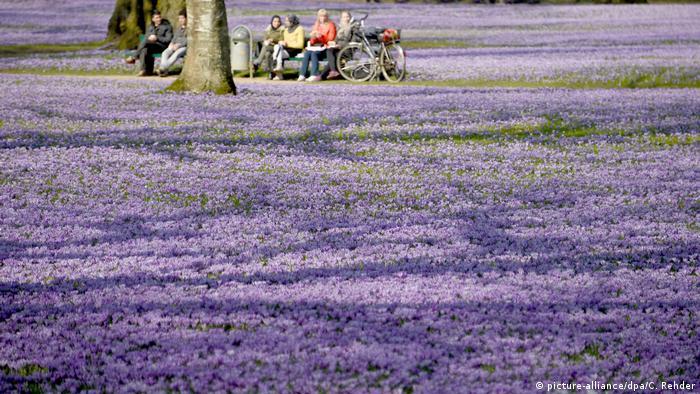 Purple flowers - crocus neglectus (picture-alliance/dpa/C. Rehder)