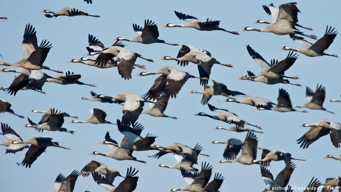 Cranes flying (picture-alliance/dpa/P. Pleul)