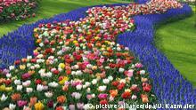 Traubenhyazinthen (Muscari) und Tulpen (Tulipa-Hybriden) im Keukenhof Park, Lisse, Südholland, Niederlande, Europa   Verwendung weltweit, Keine Weitergabe an Wiederverkäufer.