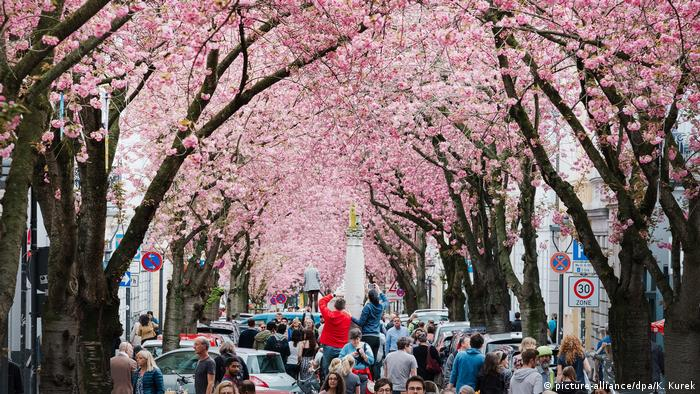 Cherry blossoms and tourists in Bonn (picture-alliance/dpa/K. Kurek)