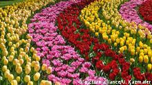Gelb, rosa und rot farbene Tulpen (Tulipa), Keukenhof, bei Lisse, Niederlande, Europa | Verwendung weltweit, Keine Weitergabe an Wiederverkäufer.