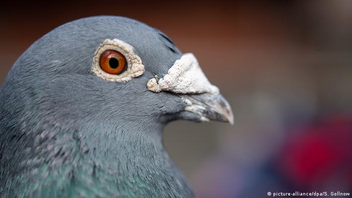 Pigeon (picture-alliance/dpa/S. Gollnow)