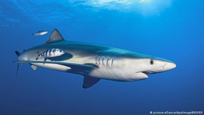 Blauhai (Prionace glauca) mit Pilotfischen (Naucrates ductor), schwimmt im blauen Wasser, Faial, Azoren, Portugal, Europa