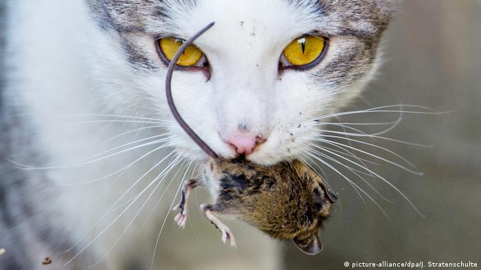 Un gato lleva un ratón en la boca.