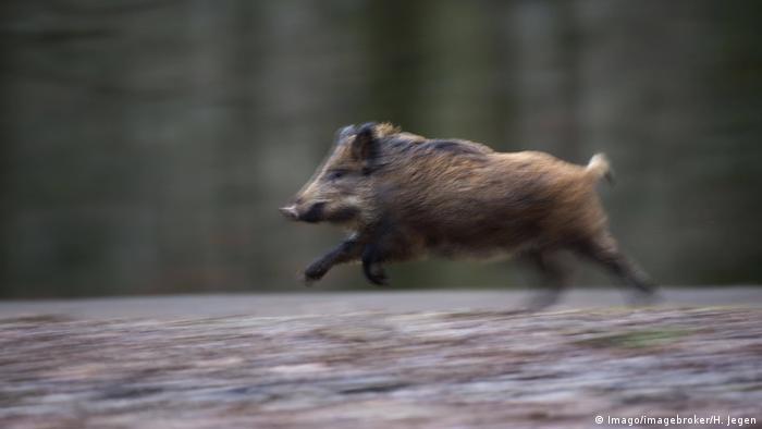Wildschwein Sus scrofa rennt Vulkaneifel (Imago/imagebroker/H. Jegen)