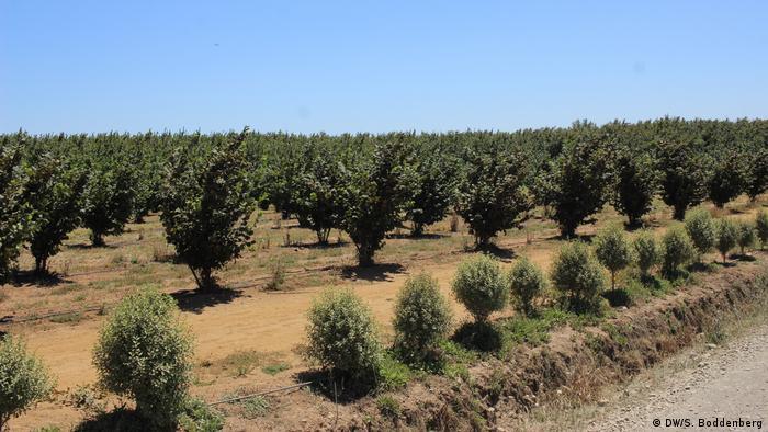 Chile Haselnussanbau in Pelarco Region del Maule (DW/S. Boddenberg)
