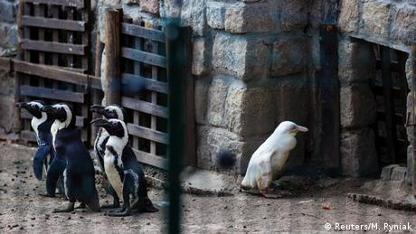 A juvenile albino penguin is presented to the public for the first time at the Gdansk Zoo in Gdansk, Poland, March 22, 2019