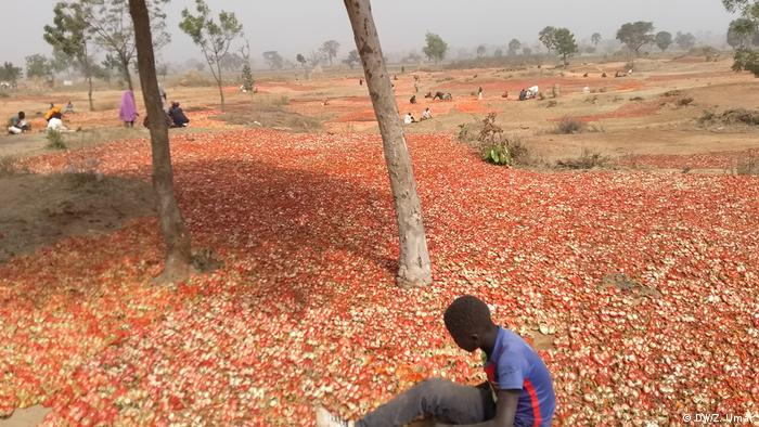Tomatoes spread out across a wide area to dry(DW/Z. Umar)