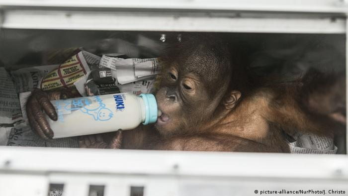 The orangutan sucking on a baby bottle, drinking what appears to be milk