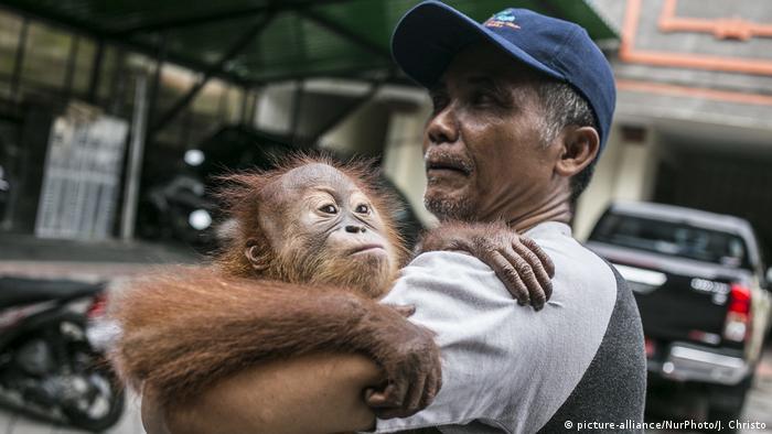 Indonesian orangutan with its caretaker (photo: Photo by Johanes Christo/NurPhoto)
