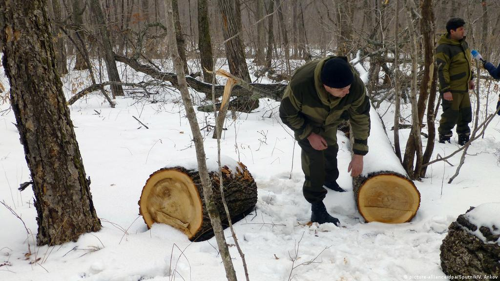 Russia′s forests threatened by illegal logging