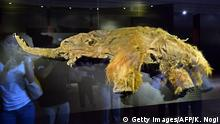 12.07.2013 The frozen carcass of a 39,000-year-old female woolly mammoth named Yuka from the Siberian permafrost is displayed for an exhibition in Yokohama, suburban Tokyo on July 12, 2013 at a press preview before the opening. The carcass will be shown to the public during an exhibition at Pacifico Yokohama from July 13 to September 16. AFP PHOTO / KAZUHIRO NOGI (Photo credit should read KAZUHIRO NOGI/AFP/Getty Images)