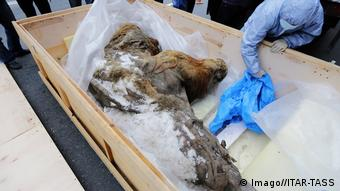 The woolly mammoth Yuka cased in ice