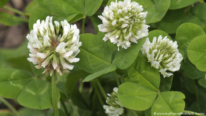 White clover flowers (photo: picture-alliance/Wildlife/D. Harms)