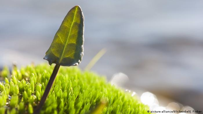 A dock leaf (photo: picture-alliance/blickwinkel/J. Fieber)