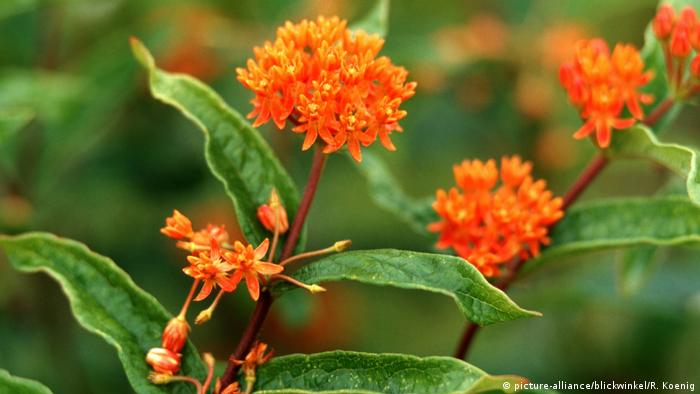 Butterfly weed (photo: picture-alliance/blickwinkel/R. Koenig)