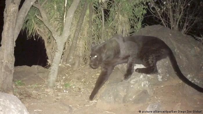 Kenia Schwarzer Leopard wird in Lorok, Laikipia County gesehen (picture-alliance/dpa/San Diego Zoo Global)