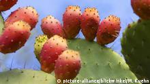 Global Ideas Kaktusfeige