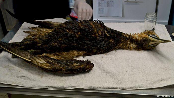 A dead bird covered in oil on a metal veterinary table (photo: Hegalaldia)