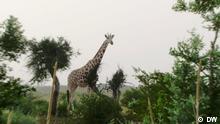 Saving giraffes in Niger, Schlagwörter: Eco Africa, Environment, Niger, Africa Bilder aus der DW-Sendung Eco Africa