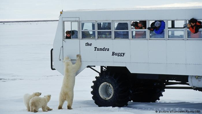Polar bears sniffing around a bus of tourists on the tundra