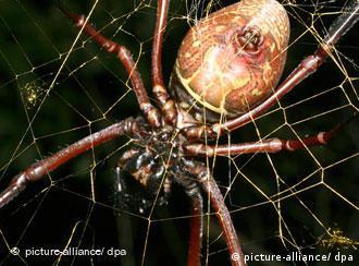 Eine weibliche Spinne Nephila inaurata (Handout, aufgenommen auf der Insel Rodriguez im Indischen Ozean) - eine eng verwandte Art der bislang größten Radnetz-Spinne der Welt, die Forscher jetzt entdeckt haben . Allerdings erreicht nur das Weibchen der Art Nephila komaci eine XXL-Größe, wie die Wissenschaftler um Matjaz Kuntner im Fachjournal «PLoS ONE» berichten. Die Beinlänge der weiblichen Spinne misst bis zu zwölf Zentimeter, bei einer Körperlänge von knapp vier Zentimetern. Die Tiere spinnen kräftige Netze, die oft einen Radius von mehr als einem Meter haben. (zu dpa 0277 vom 21.10.2009) ACHTUNG: Verwendung nur im Zusammenhang mit der Berichterstattung und mit Urhebernennung Foto: Matjaz Kuntner +++(c) dpa - Report+++