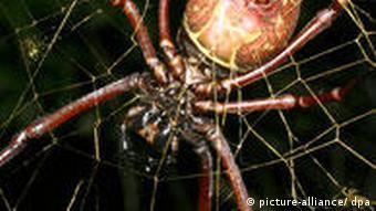 Eine weibliche Spinne Nephila inaurata (Foto: Matjaz Kuntner)