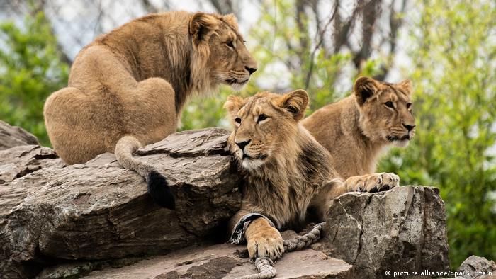 Lions at Frankfurt Zoo