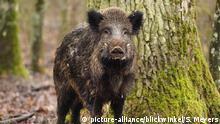 Deutschland Wildschwein im Wald