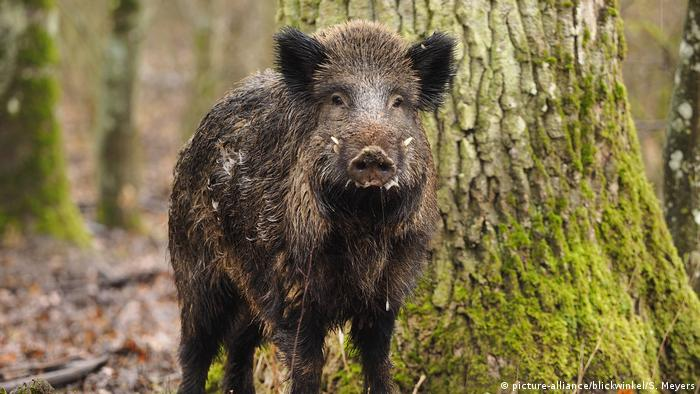 A wild boar standing in the middle of a forest against a backdrop of trees (Picture Alliance Blickwinkel, S Meyers)