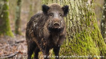 Кабаны разнесли африканкую чуму свиней по всей Восточной Европе