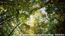 Sugar maple trees in autumn, shot with fisheye lens, Bavaria, Germany, Europe   Verwendung weltweit, Keine Weitergabe an Wiederverkäufer.