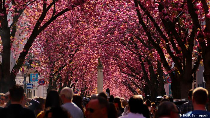 Sky completely inundated in the color of pink, from cherry blossoms (DW/F. Schlagwein)