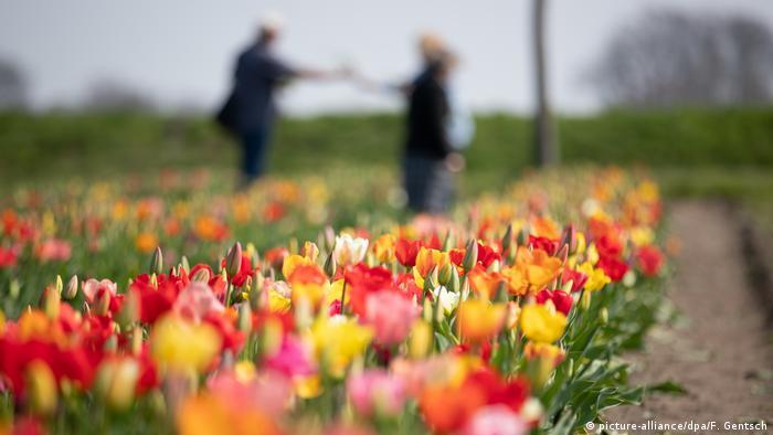 Идем срезать тюльпаны (фото)
