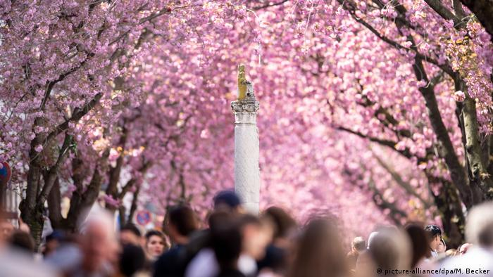 Crowds form on a street under cherry blossoms in Bonn.