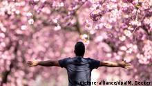 07.04.2019, Nordrhein-Westfalen, Bonn: Ein Mann posiert mit ausgebreiteten Armen unter den blühenden Kirschbäumen in der Heerstraße für ein Foto. Foto: Marius Becker/dpa   Verwendung weltweit