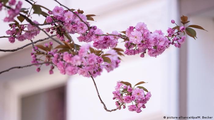Cherry Blossoms Mesmerize Tourists In Bonn Lifestyle Dw 16 04 2018
