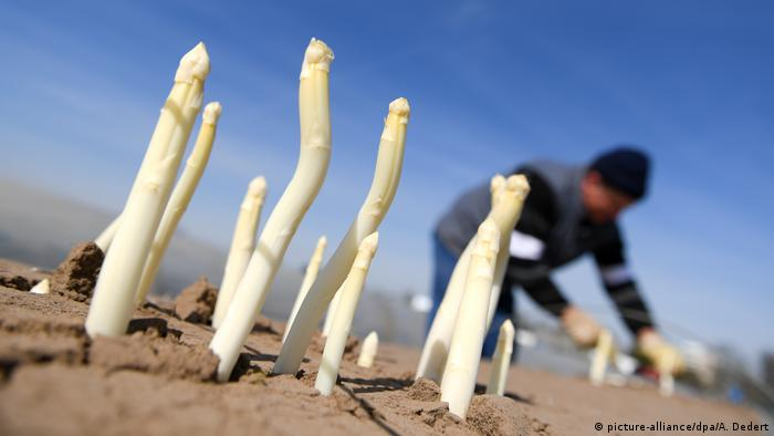 White asparagus in a field (picture-alliance/dpa/A. Dedert)