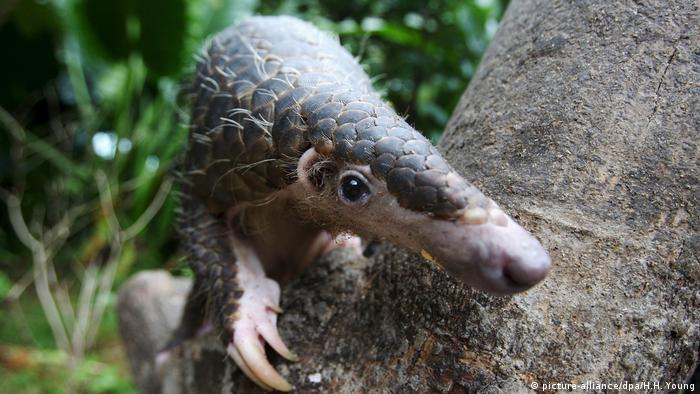 Pangolin in a tree