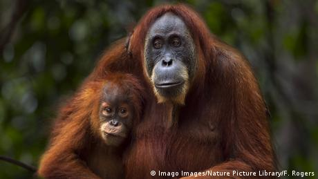 Eine Orang-Utan-Mutter mit ihrem Baby (© Imago Images/Nature Picture Library/F. Rogers)