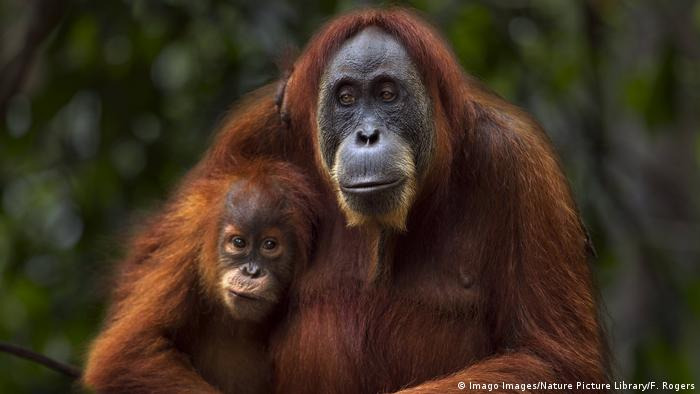 Orang-Utan Mutter mit Kind