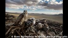 +++ Achtung: Verwendung uur zur aktuellen Berichterstattung über den Wettbewerb! +++ ERDENE SANT, CENTRAL MONGOLIA: A wild Saker Falcon mother and her chicks high over the steppe of Central Mongolia. The Saker falcon is the only species in the genus Falco with an endangered listing in the IUCN red list, because a population trend analysis has indicated that it may be undergoing a very rapid decline, particularly in Central Asia, with unsustainable capture for the falcon trade considered to be one of the causal factors. Electrocution via power lines is a larger issue, killing millions of birds every year.