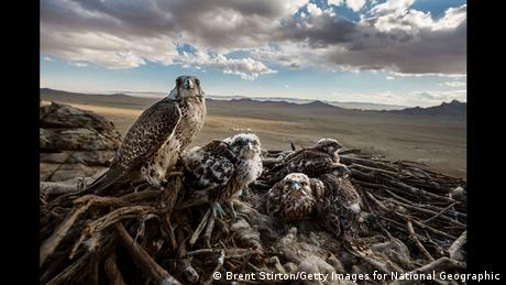 Falcons and the Arab Influence photo by Brent Stirton (Brent Stirton/Getty Images for National Geographic)