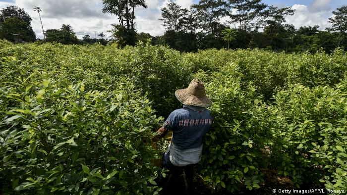 A man walks through a coca field in Tumaco, Columbia (Getty Images/AFP/L. Robayo)