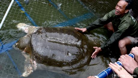 A softshell giant turtle in Vietnam