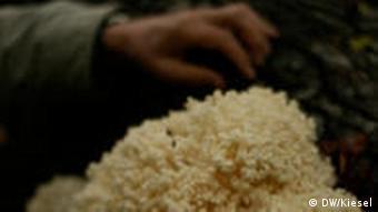 Der Astige Stachelbart, ein weißer Baumpilz (Foto: DW)