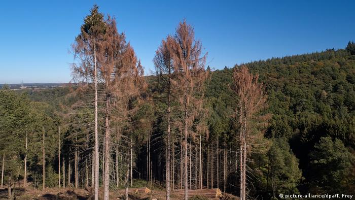 Dried out trees in the Black Forest