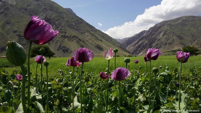 Afghanistan Panshar - Opiumfelder (Getty Images/P. Bronstein)