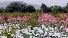 Afghanistan Kandahar - Opiumfeld